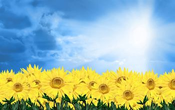 Sunshine_sunflower-Summer_romance_Feelings_1680x1050